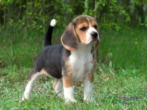 Here-is-a-super-cute-beagle-beagles-5514599-500-375